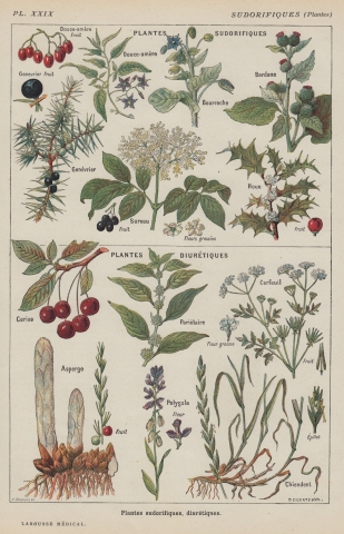 Vintage Botanical Print - Cherries