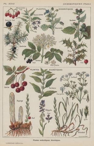 Vintage Botanical Print - Cherries