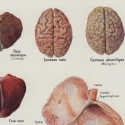 Alcohol Effects on Human Organs